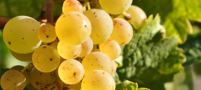 Herbst 2014 – Goldgelbe, aromatische Trauben